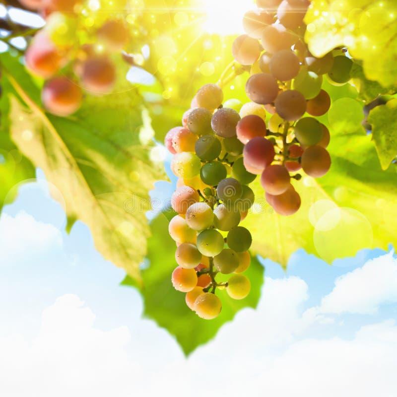 晴朗的葡萄 免版税库存图片