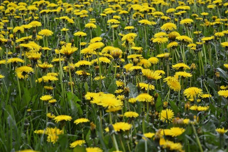 晴朗的黄色蒲公英 库存照片