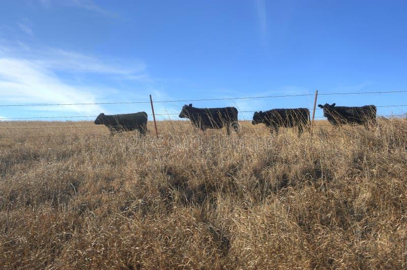 朝向为食物的母牛在一条单一文件线 免版税图库摄影