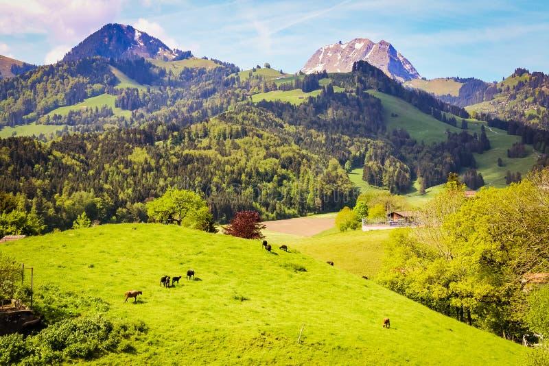 朝向对牧场地的牛 免版税库存照片