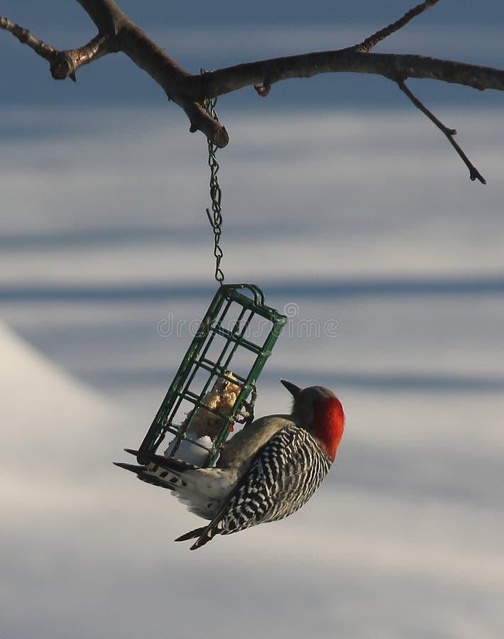 朝向的红色啄木鸟 库存照片