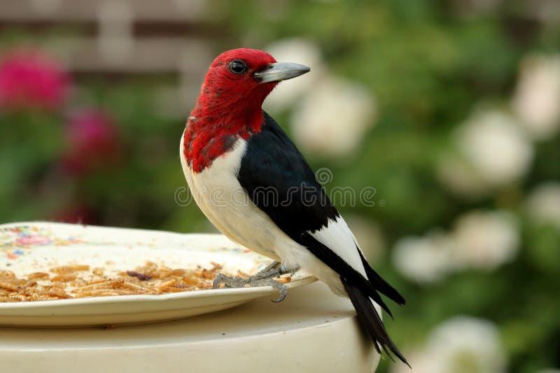 朝向的红色啄木鸟 免版税库存图片