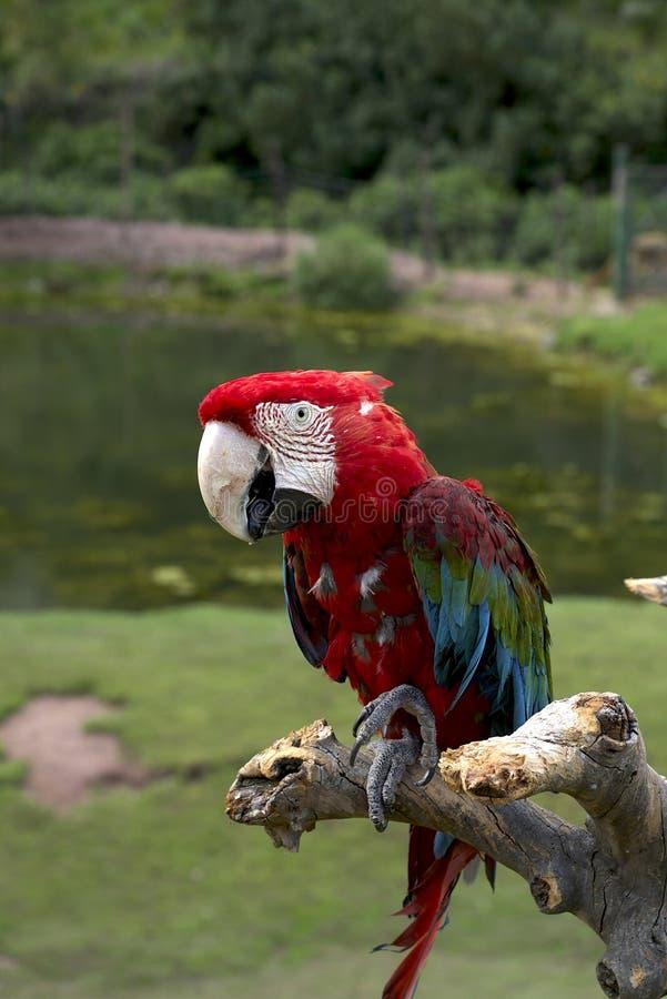 朝向的鹦鹉红色 免版税库存图片