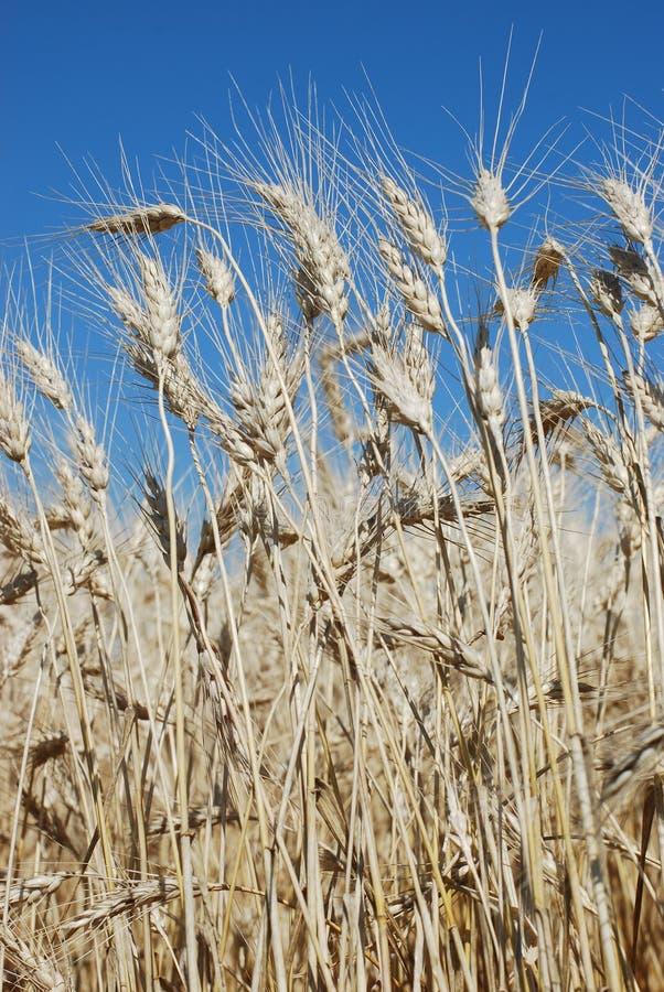 朝向麦子 免版税图库摄影