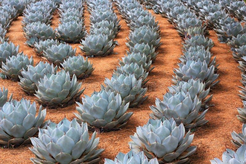 朝鲜蓟龙舌兰植物行  图库摄影