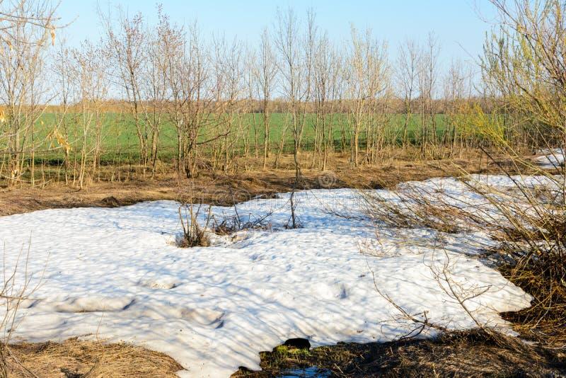 期待已久的春天 独特的自然现象、雪和绿草 绿色领域、森林、树和灌木 ?? 库存图片