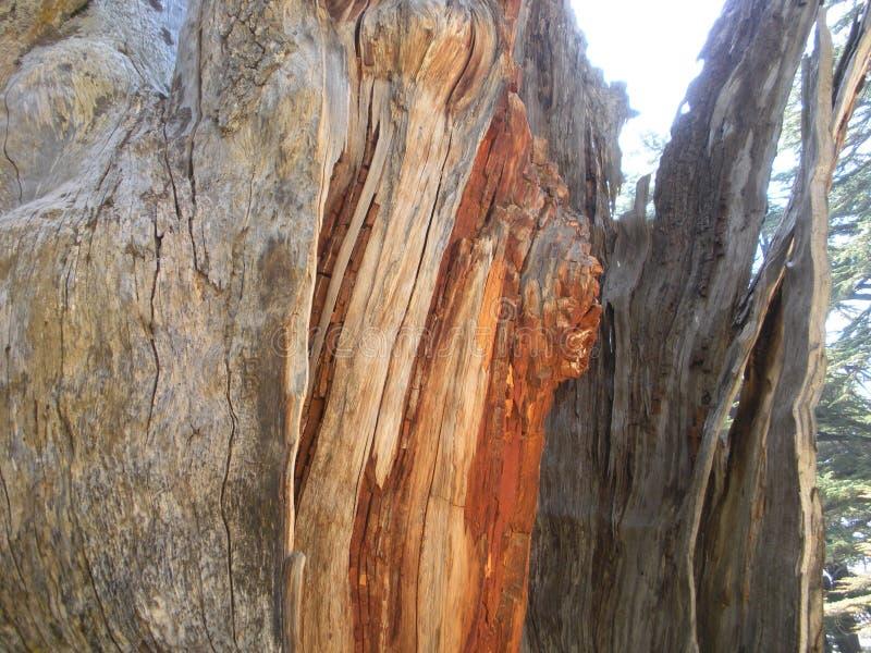 木五谷,雪松木头,黎巴嫩雪松 免版税库存照片