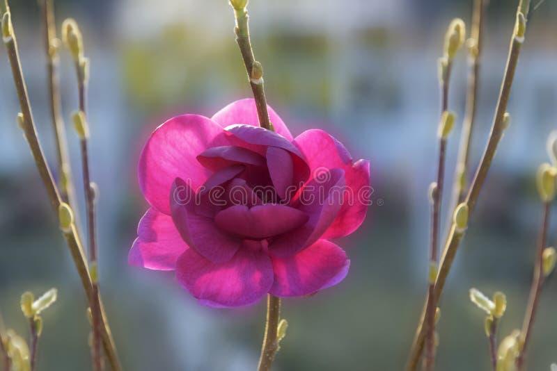 木兰'黑郁金香'与看起来黑暗的郁金香的黑红色绽放 与触击的罕见的装饰木头,美丽的花 免版税库存照片