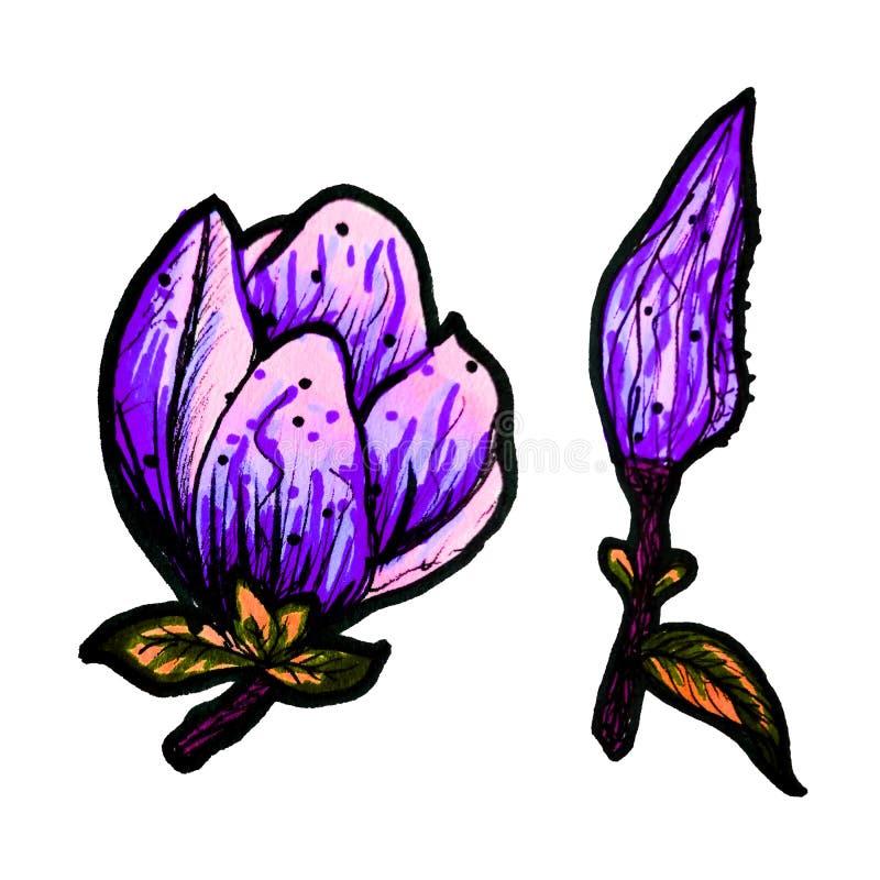 木兰一个五颜六色的开花的分支是手拉的与标志 在被隔绝的白色背景的一株木兰 皇族释放例证