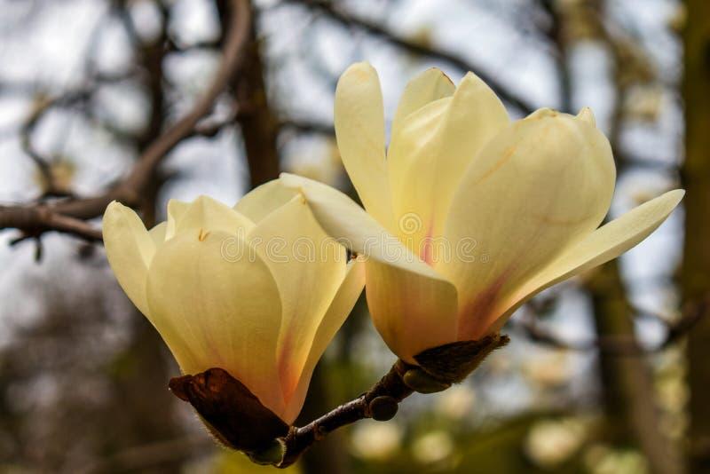 木兰一束白花  免版税图库摄影