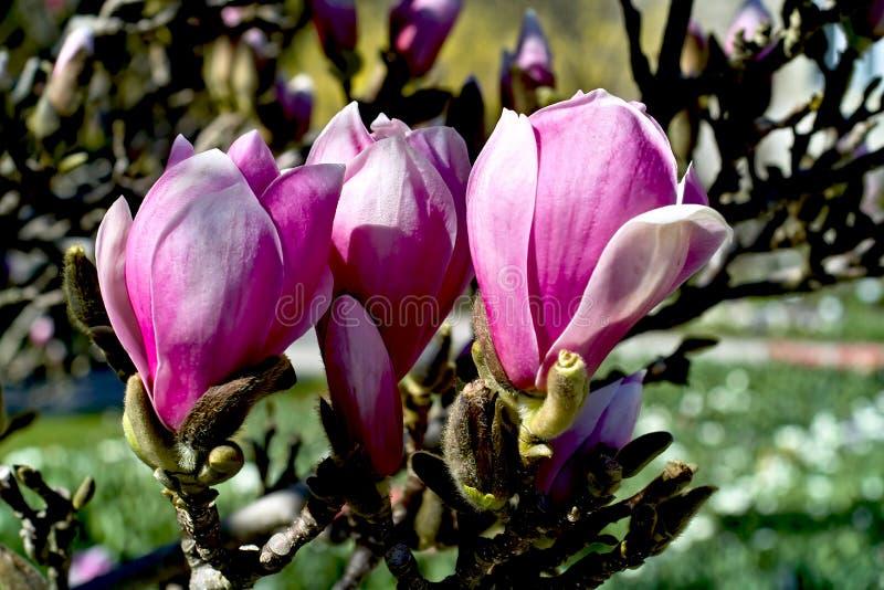 木兰在春天 库存图片