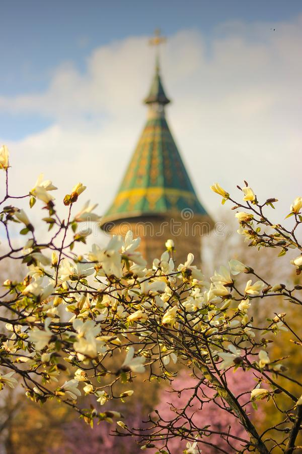 木兰在绽放的树枝与大城市大教堂在背景中在蒂米什瓦拉 库存照片