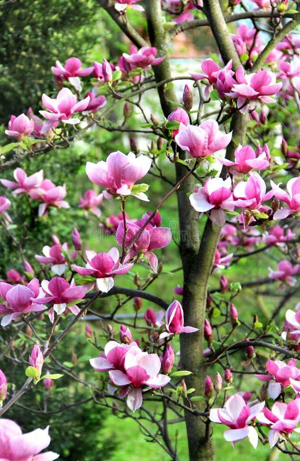 木兰在绽放的春天树 库存照片