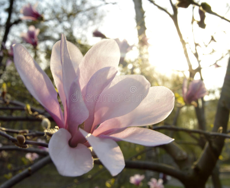 木兰开花的树 免版税库存照片