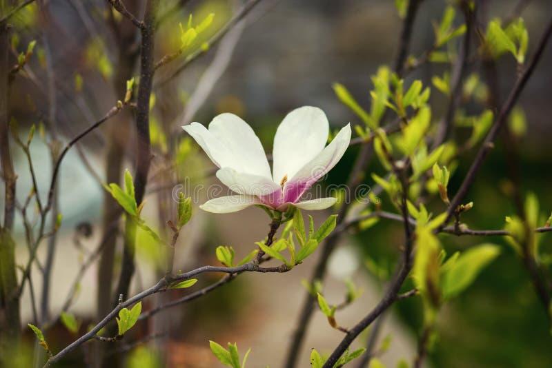 木兰开花,木兰郁金香tre的美好的春天绽放 免版税库存照片