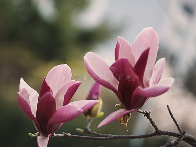 木兰开花绽放 免版税库存图片