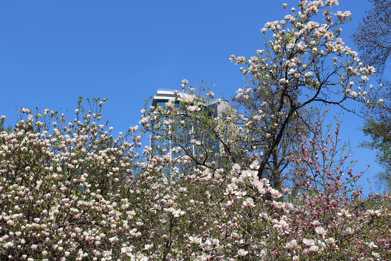 木兰春天花与现代大厦的从蓝色玻璃和灰色钢 免版税图库摄影