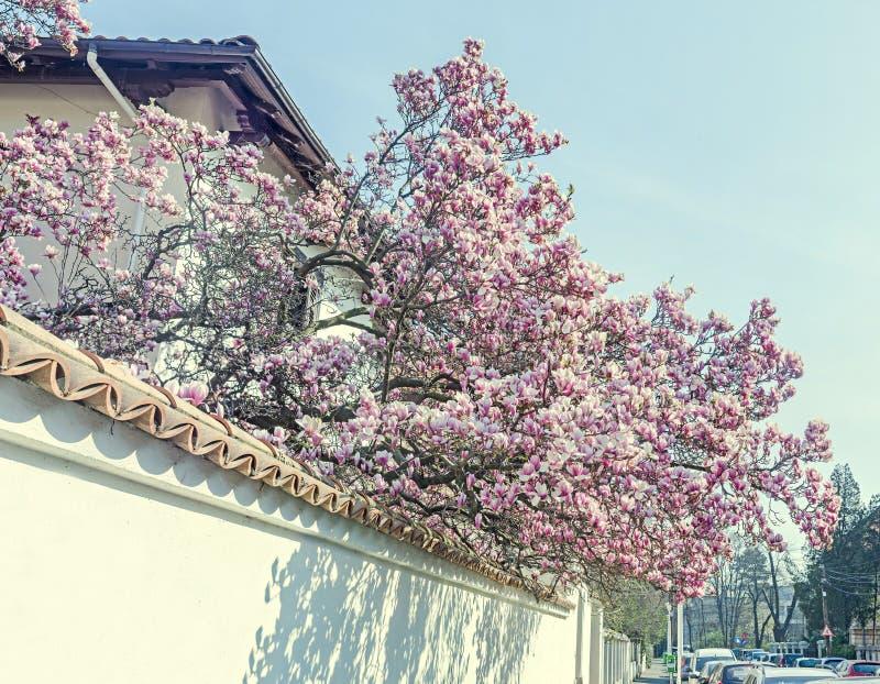 木兰树桃红色,紫色花,蓝天,室外 库存照片