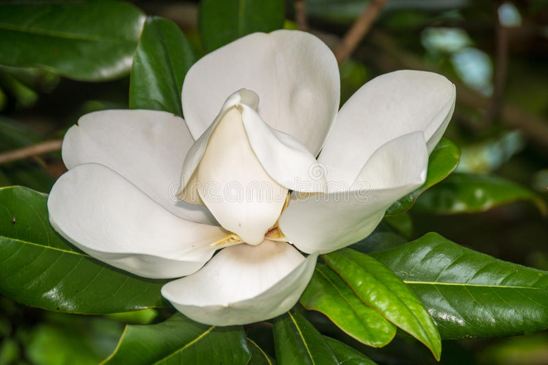 木兰树花 库存照片