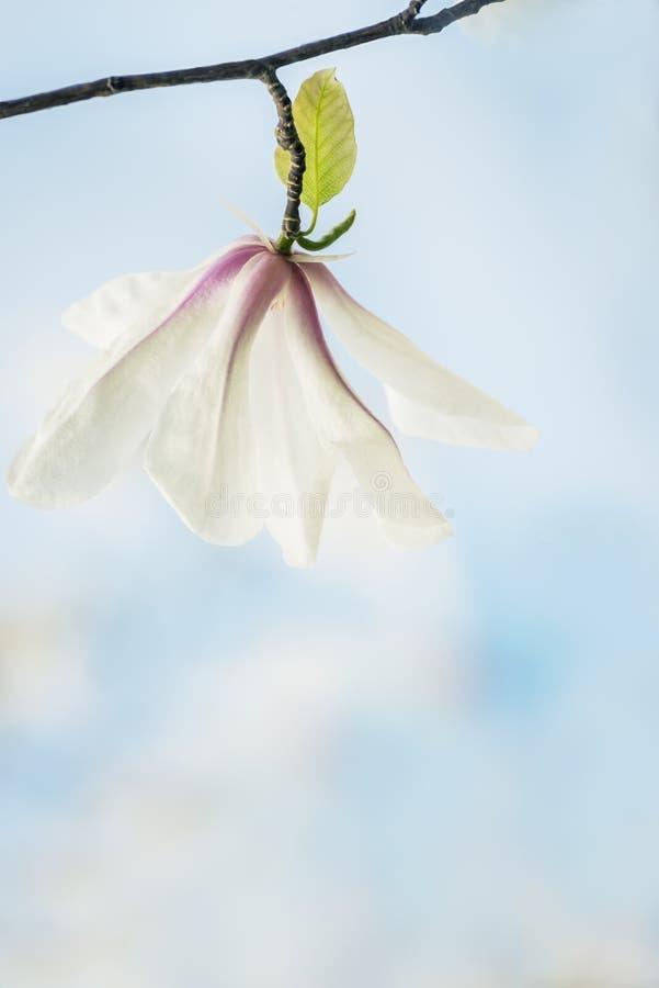 木兰美好的精美花  艺术性的照片、曝光量和软的选择聚焦 免版税图库摄影