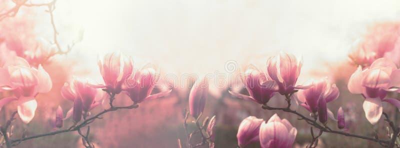 木兰花,美丽的开花的木兰花在春天 图库摄影