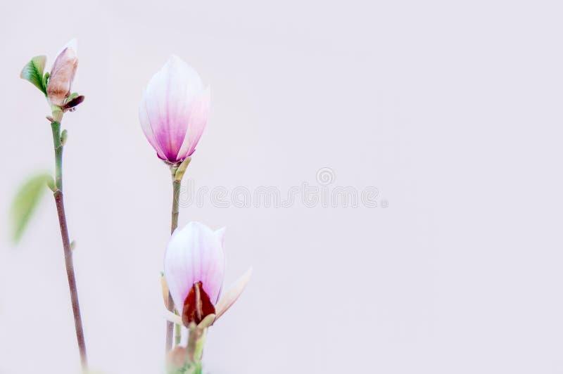 木兰芽 下雨 库存照片