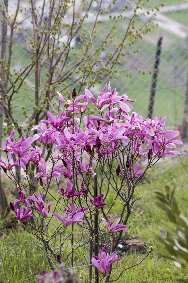 木兰liliiflora桃红色在一个绿色庭院里开花 图库摄影