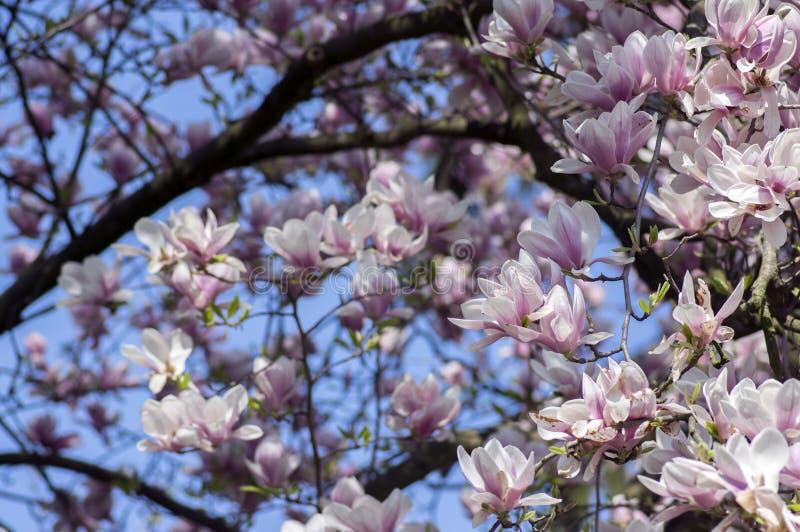 木兰soulangeana也称碟木兰与美丽的桃红色白花的开花的春天树在分支 库存图片