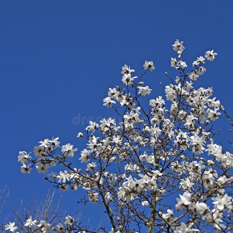 木兰stellata ` Rosea ` 图库摄影