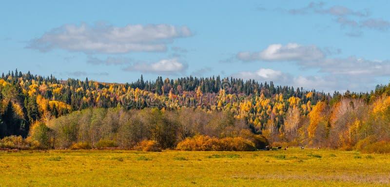 木头和领域的全景,母牛吃草,与在天空的云彩,从几个框架的全景 免版税库存照片