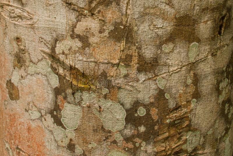 木头纹理在密林特写镜头的 亚马逊雨林阿马佐纳斯,巴西 免版税库存图片