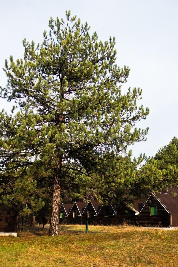 木客舱在Deliblatska pescara的杉树森林里 免版税库存照片