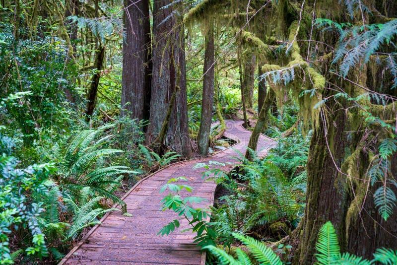 木木板走道供徒步旅行的小道深在森林里 库存图片