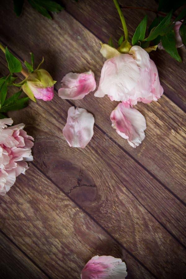 木桌上花瓣绽放的漂亮牡丹 免版税库存图片