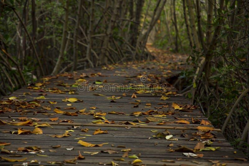 木桥在Laem的Phak Bia美洲红树森林里 免版税库存图片