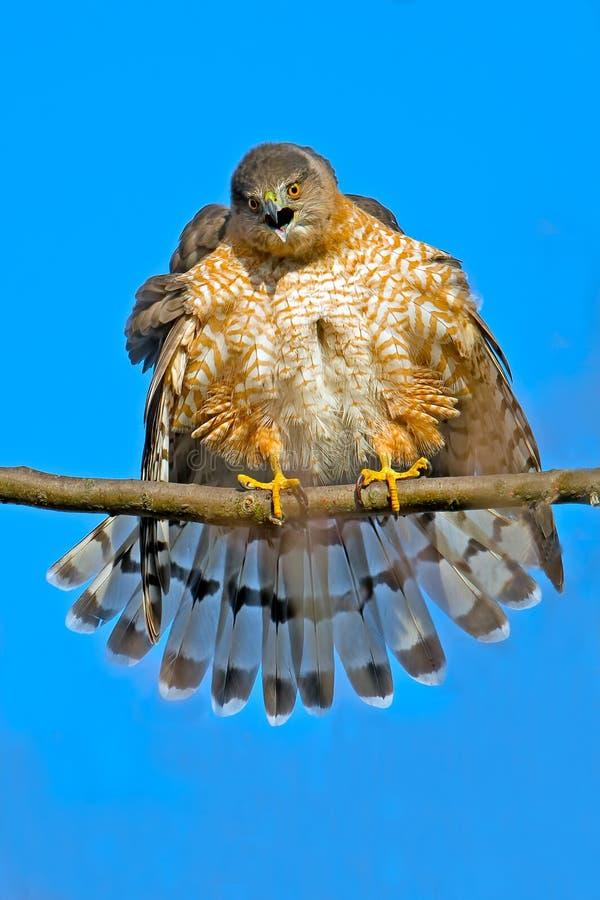 木桶匠的鹰 图库摄影