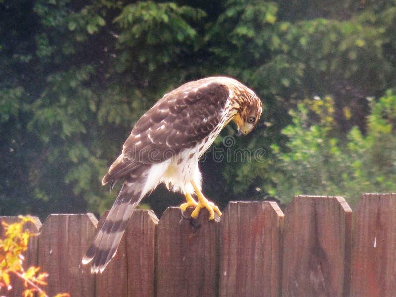 木桶匠鹰跟踪从后院篱芭的牺牲者 库存照片
