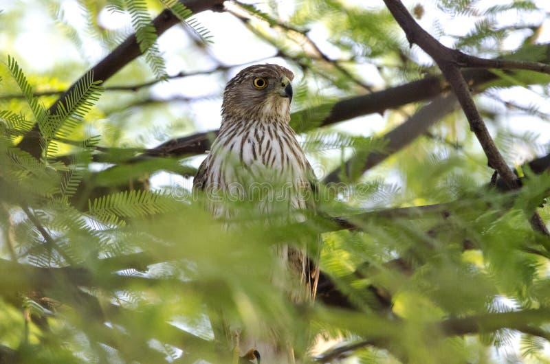 木桶匠鹰,图森亚利桑那沙漠 免版税库存照片