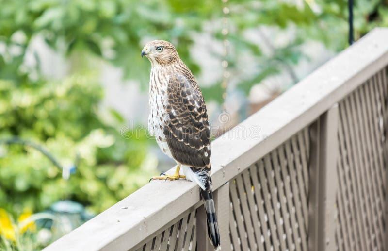 木桶匠` s鹰在后院 免版税库存照片