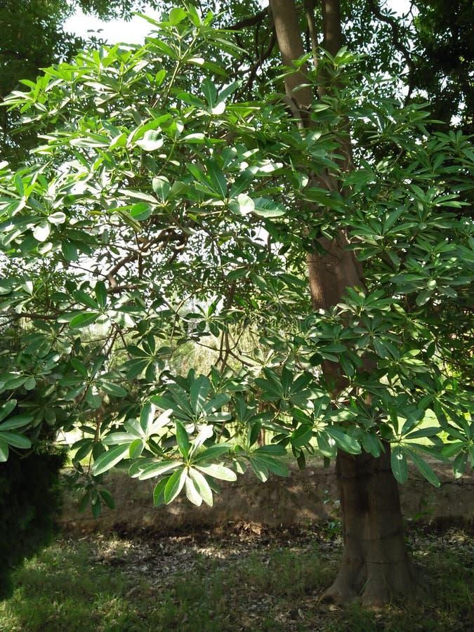 木棉树植物; 家庭:MALVECEAE 库存照片