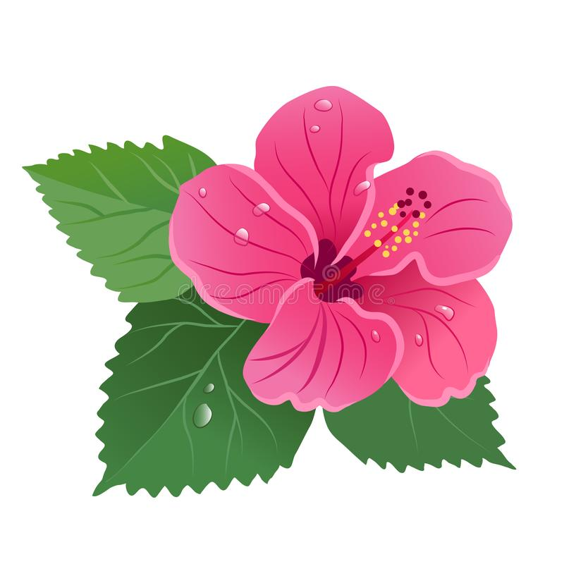 木槿开花与绿色叶子的绽放,花卉露滴 向量例证