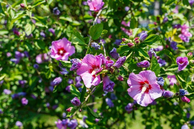 木槿灌木与紫罗兰色花的在绿色叶子 库存照片