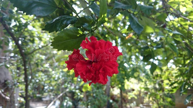 木槿红色花 免版税库存照片