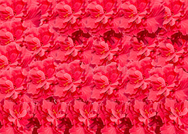木槿罗莎sinensis红色花,叫作中国木槿,中国上升了,夏威夷木槿, shoeblackplant 库存图片