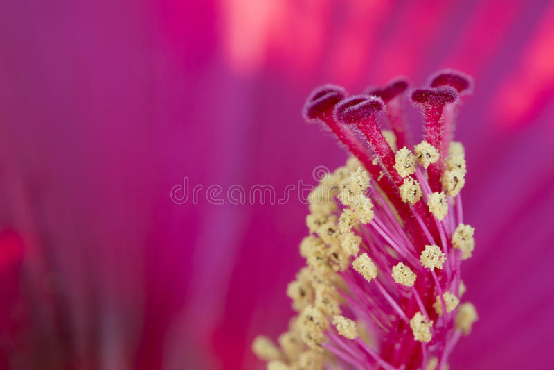 木槿雌蕊宏指令 库存图片