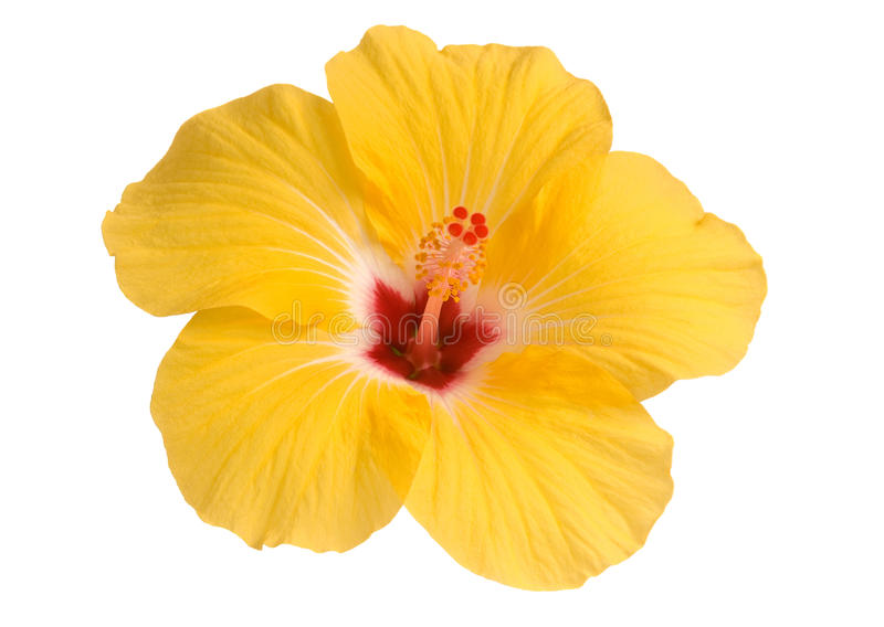 木槿黄色 库存照片