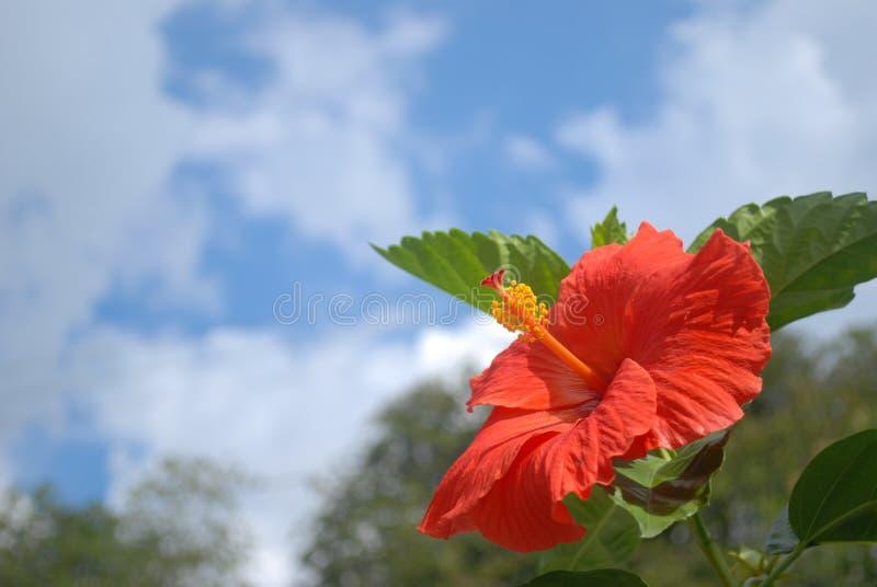 木槿,红色,深蓝天 免版税库存图片
