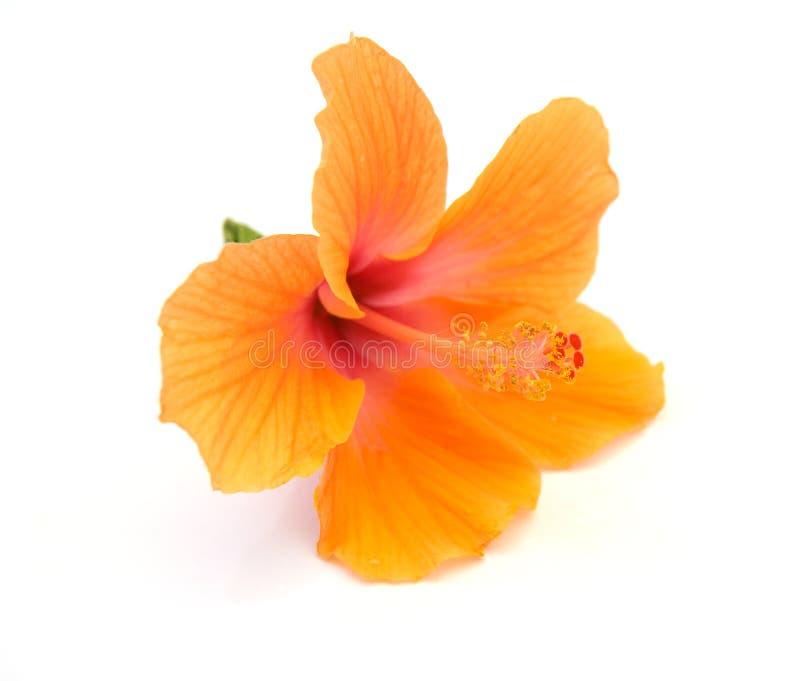 木槿 免版税库存照片