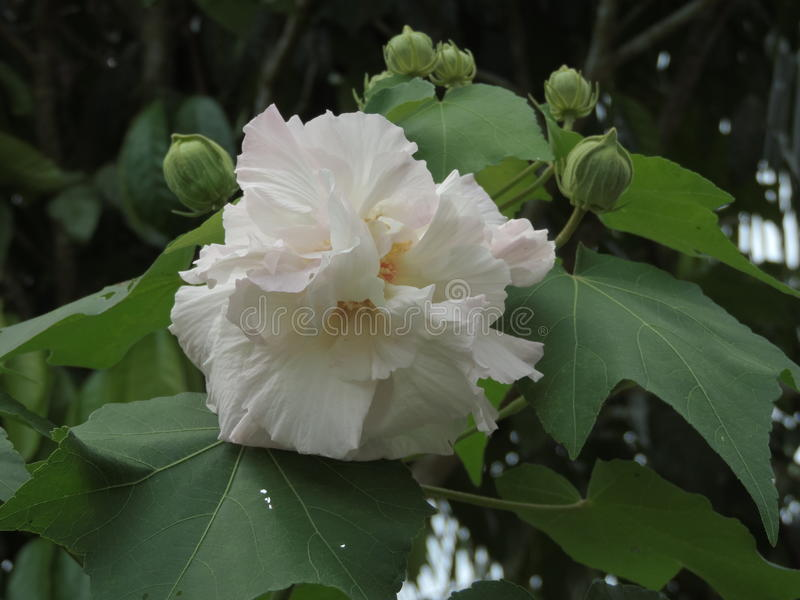 木槿mutabilis或棉花rosemallow花 免版税库存照片