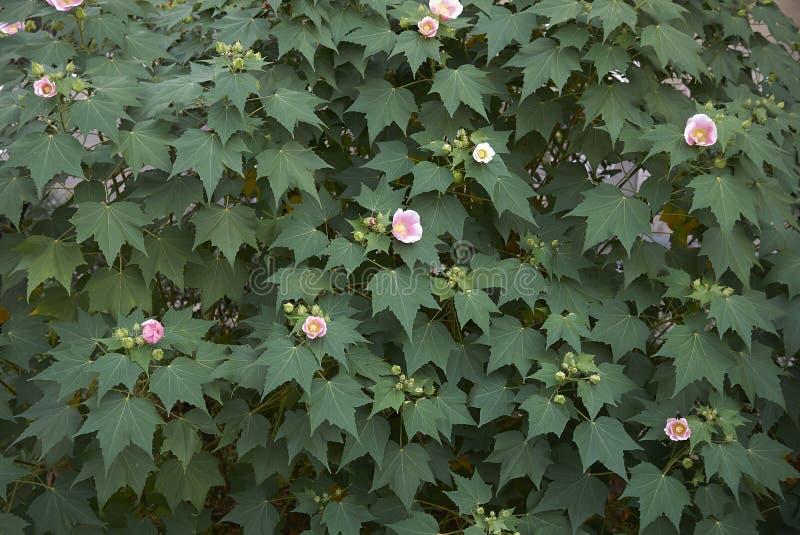 木槿mutabilis桃红色和白花 免版税库存图片